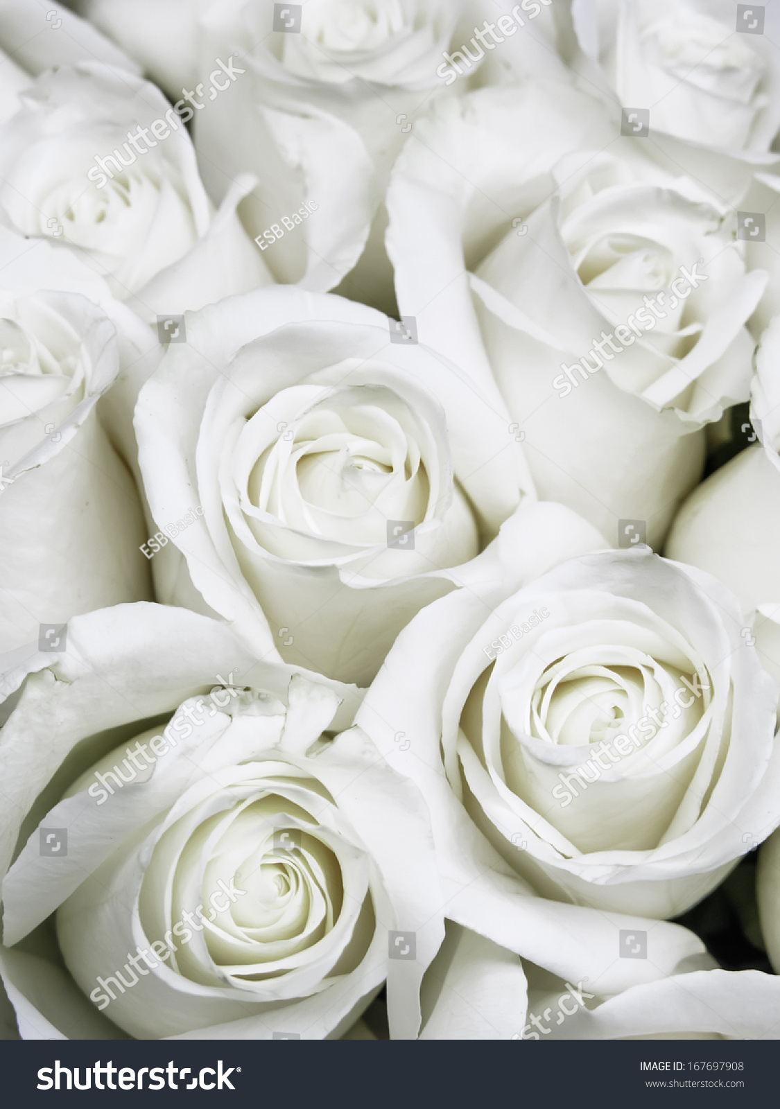 Bouquet Of Small White Roses Shortly Before They Open Into Full
