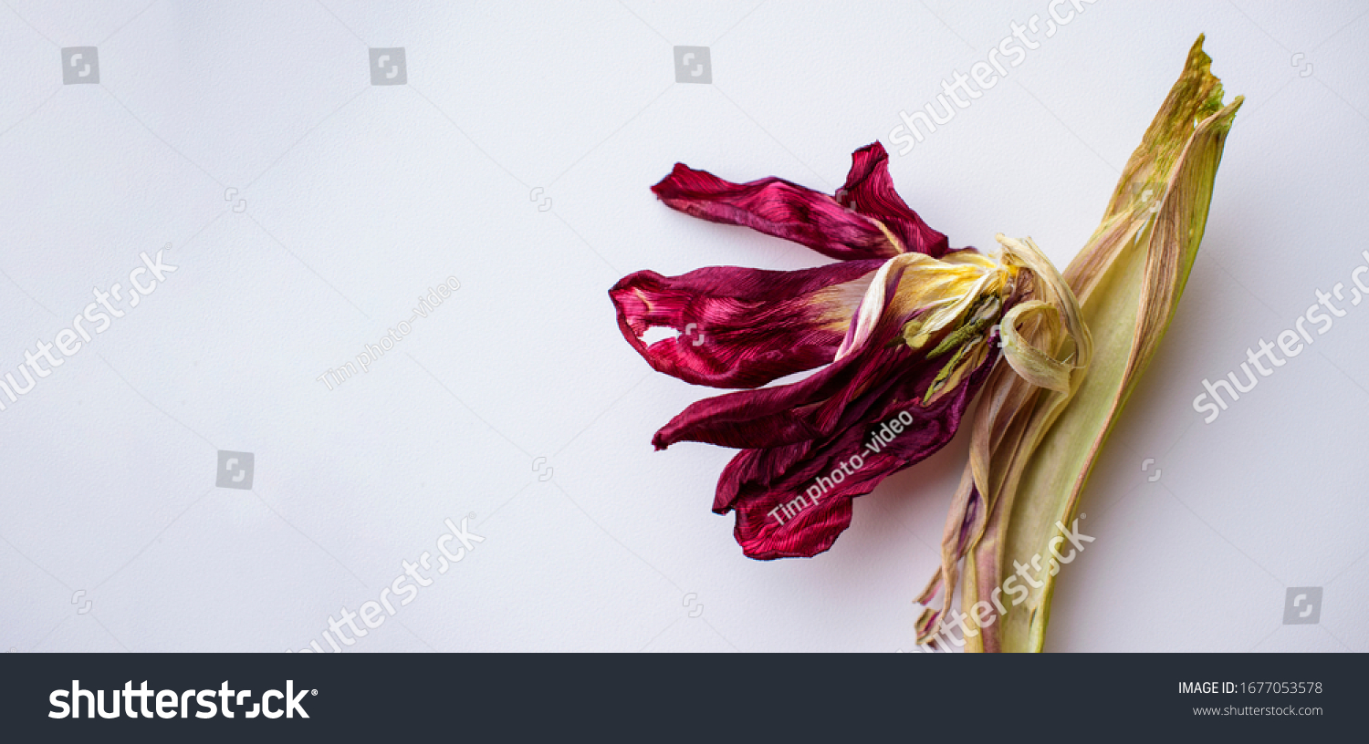 stock-photo-brightly-red-dried-tulip-flo