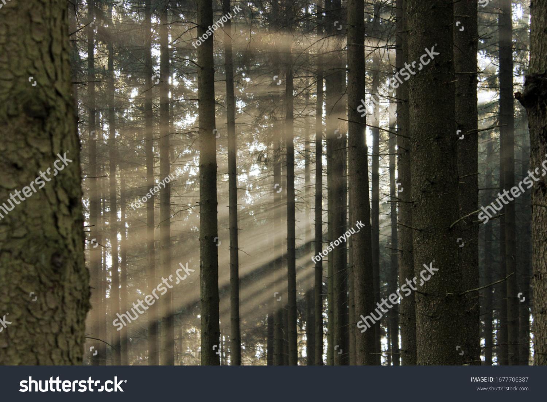 Sonnenstrahlen strahlen durch die dichten Tannen im Wald. Sonnenlicht, das an einem nebligen Morgen durch einen Wald scheint.