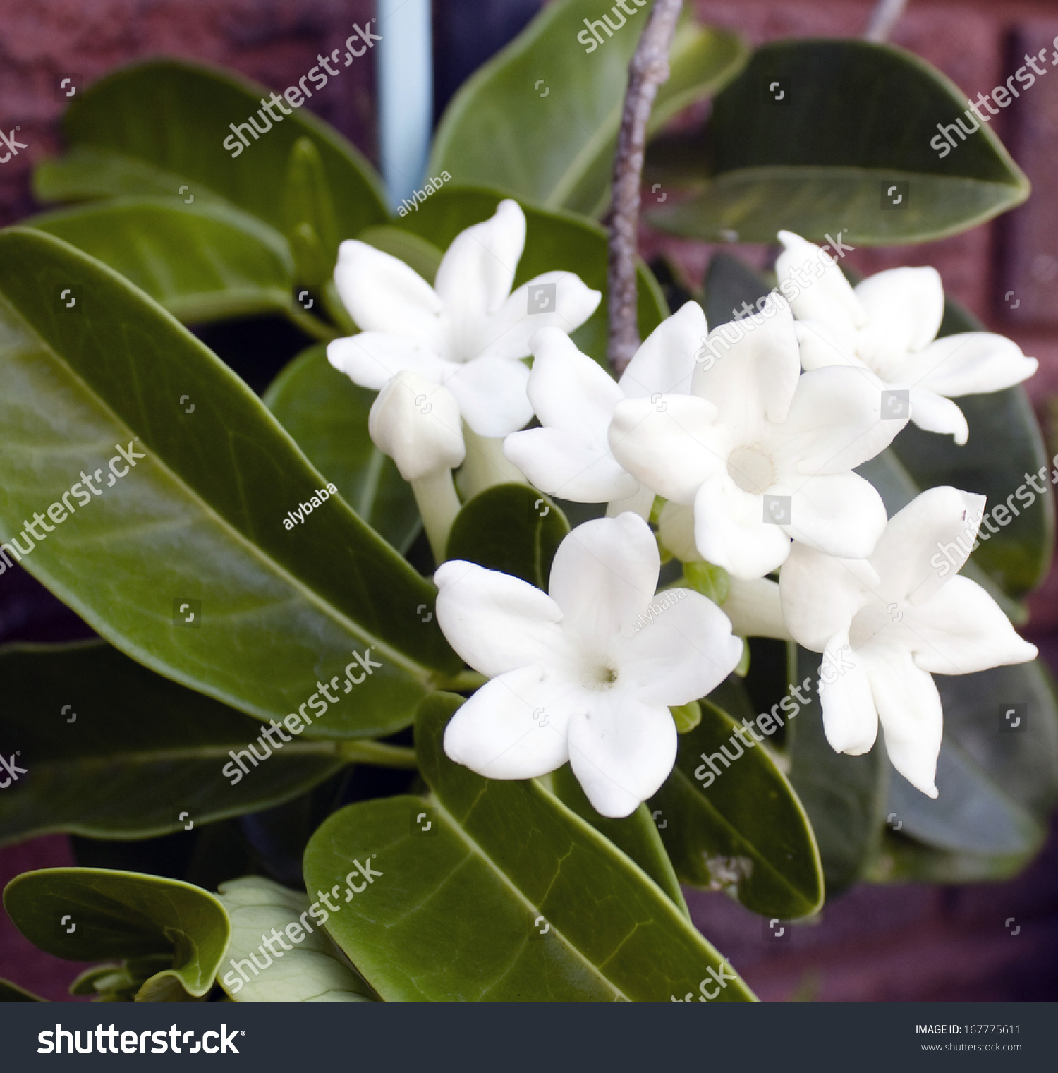 Beautiful White Blooms Stephanotis Florabunda Hawaiian Stock Photo