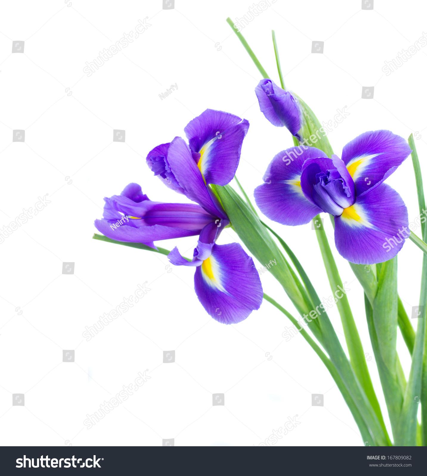 Blue Irises Flower Posy Close Isolated Stock Photo Edit Now