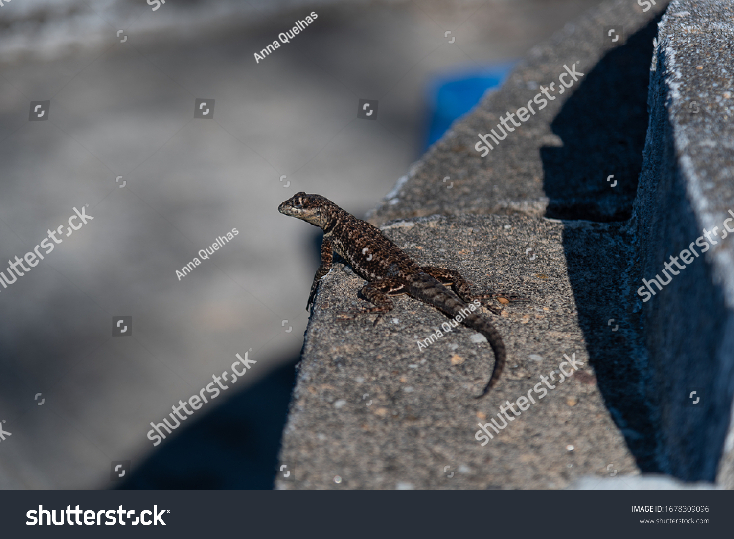 BROWN LIZARD CAPTURED IN DAILY WALL LIGHT