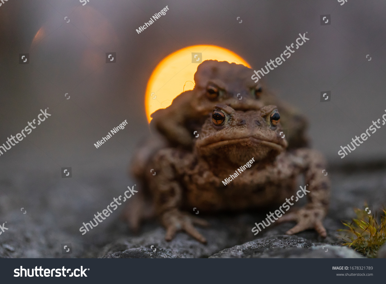 European toad (bufo bufo) very close up with light lamp