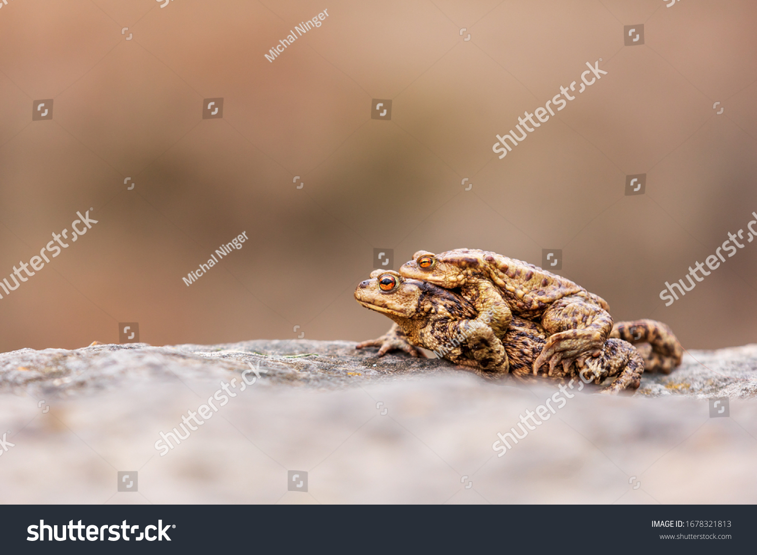European toad (bufo bufo) two frogs on the stone