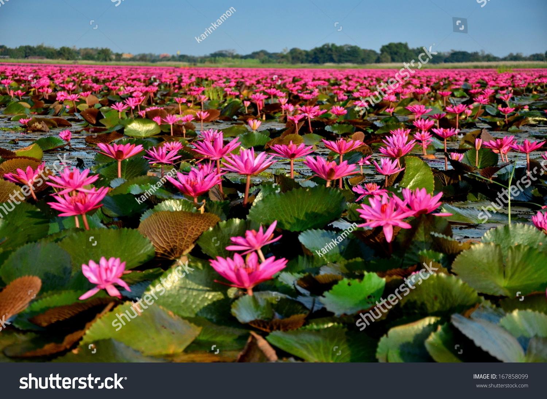 Large Group Lotus Flowers Pond Stock Photo Royalty Free 167858099