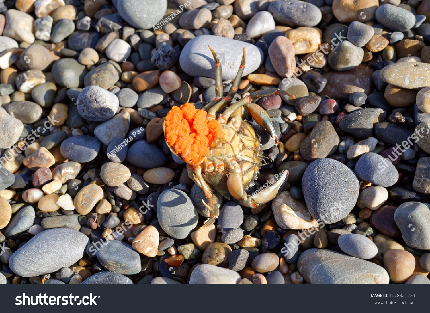 Shore Crab (Carcinus maenas) female lies upside down on the pebble beach. Dead and washed up, still carries eggs. Close up view. Sunny day.