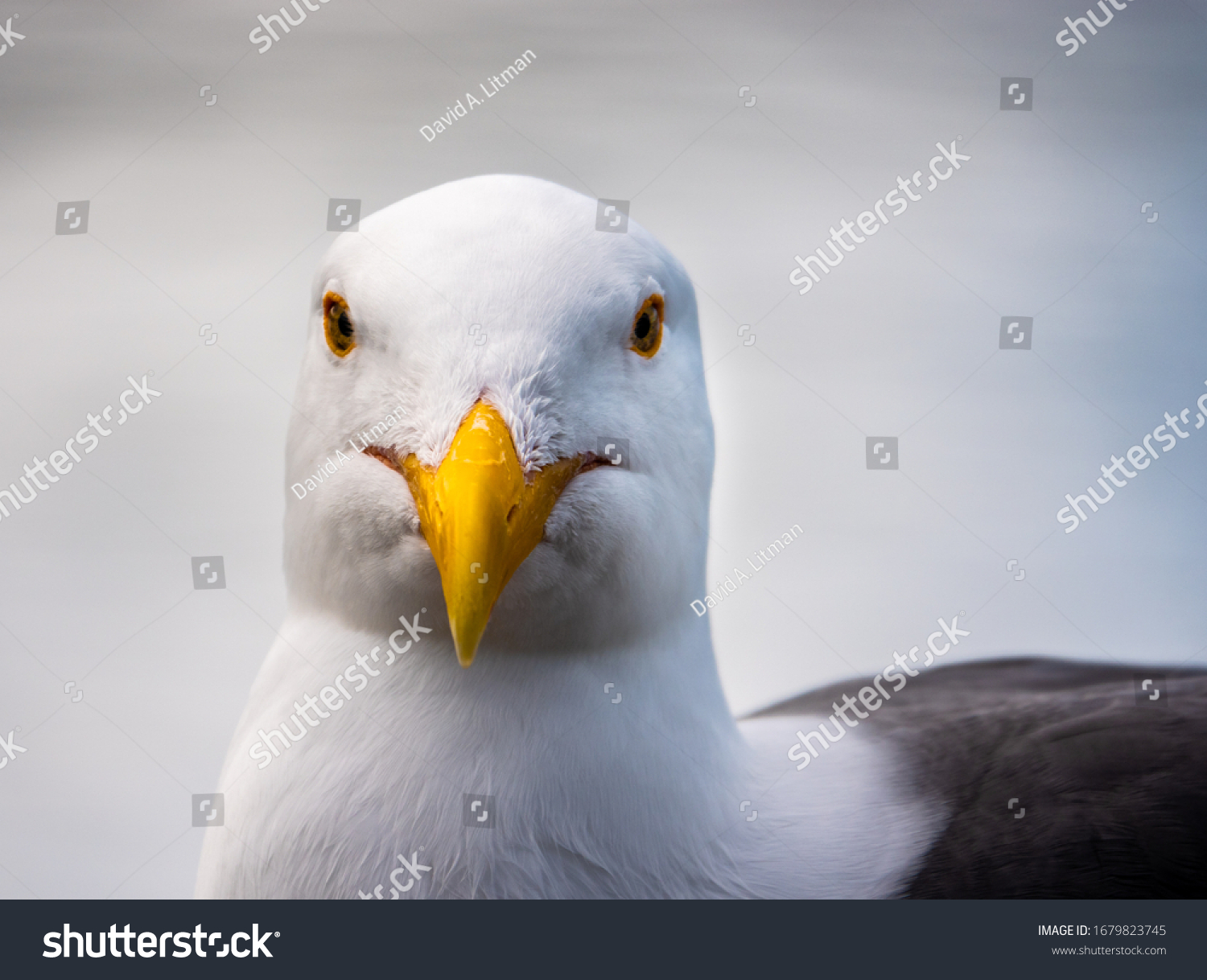 Close up portrait of a seagull (Western gull, Larus occidentalis), perched on a rail at the Monterey Municipal Wharf, along the Monterey Bay of the Pacific Coast of central California.