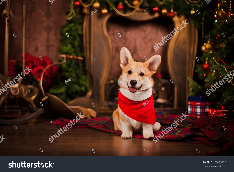 puppy welsh corgi christmas and new year - Corgi Christmas