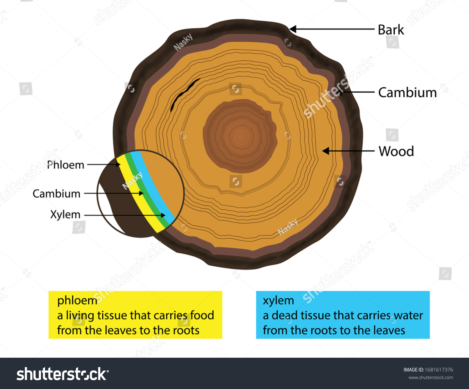 illustration of biology, Beneath a tree's bark is a layer of living tissue just one or two cells thick, xylem and phloem diagram