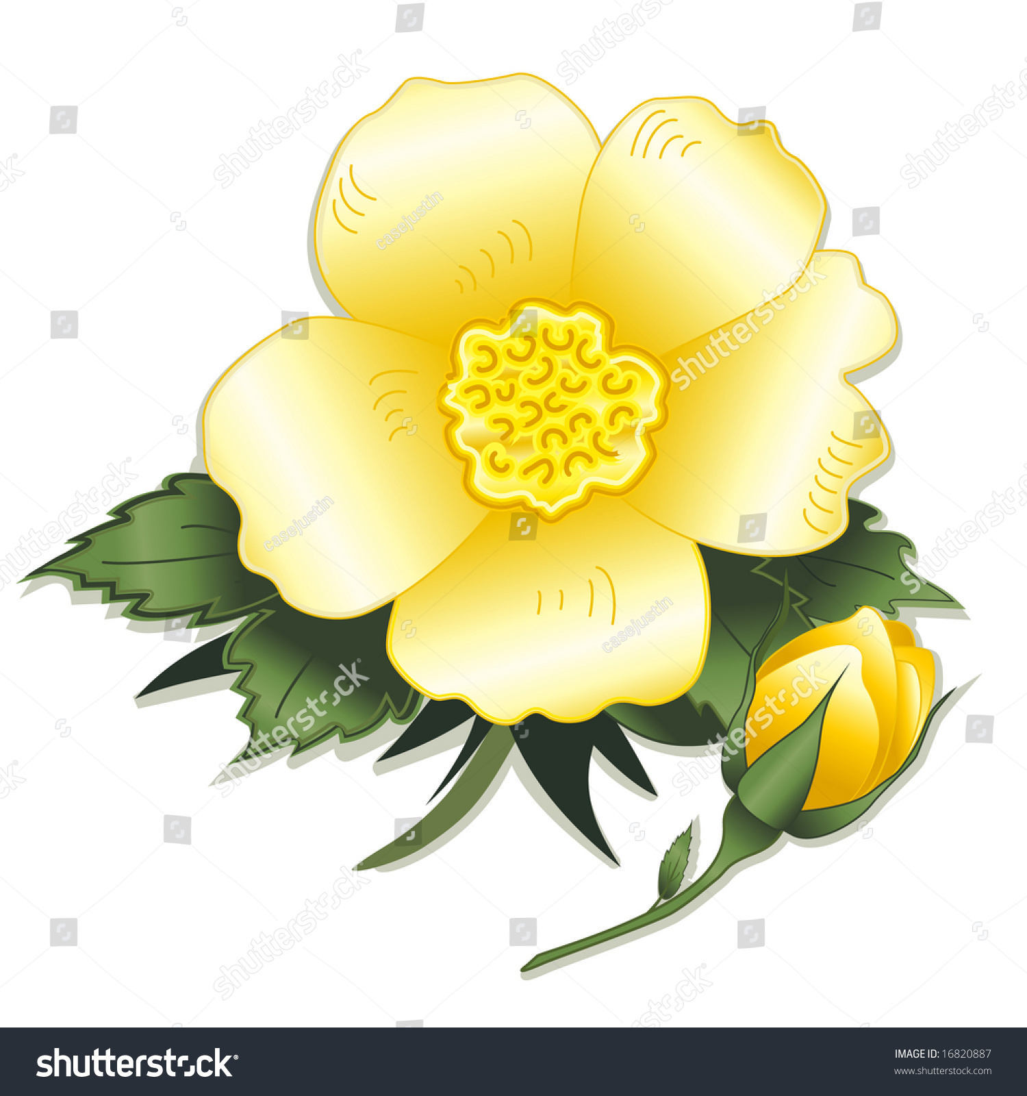 Rose Wild Yellow Heritage Bloom Bud Stock Illustration 16820887