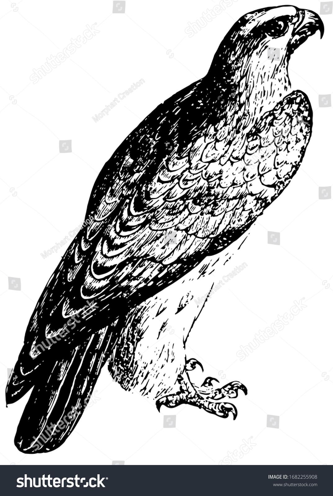 Falcon Group Birds Prey That Vary Stock Vector Royalty Free 1682255908