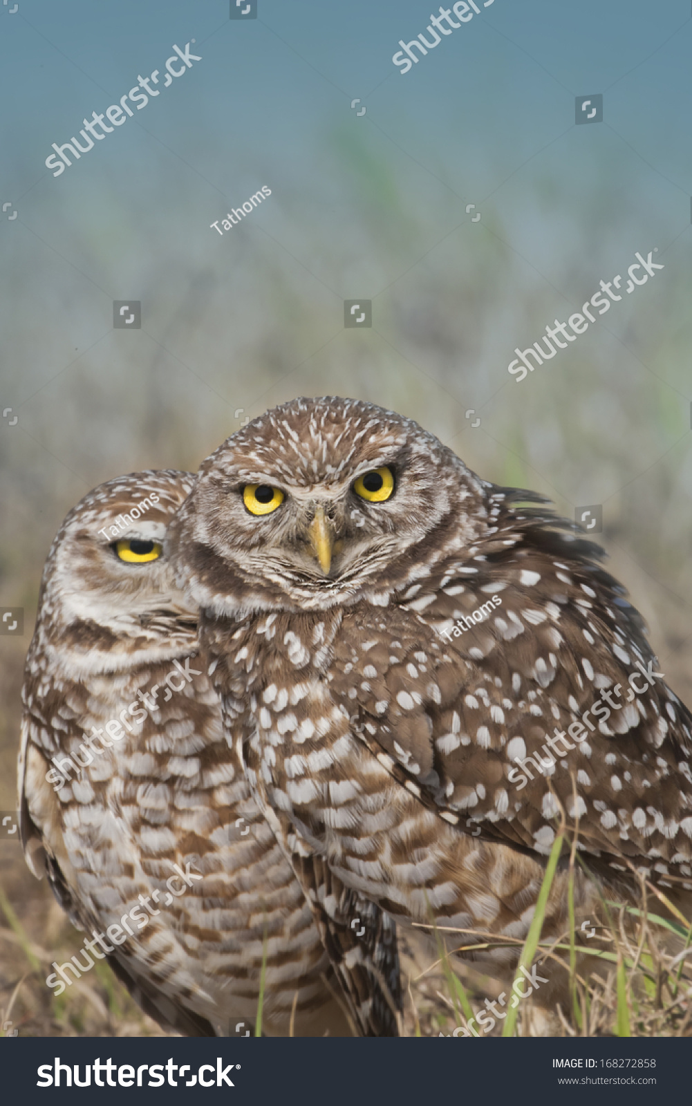Burrowing owls lean on each other. Latin name - Athene cunicularia.