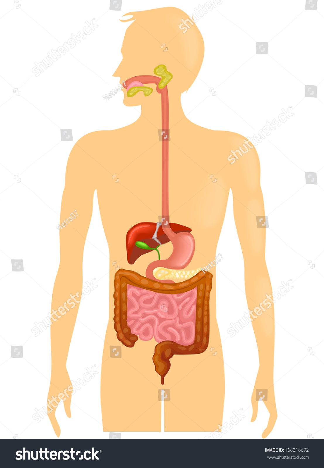 Human Digestive System Illustration Stock Vector Royalty Free