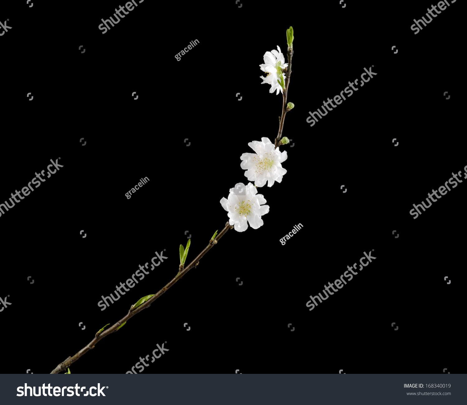 Beautiful flowers blooming cherry on black stock photo 168340019 beautiful flowers blooming cherry on a black background izmirmasajfo Images