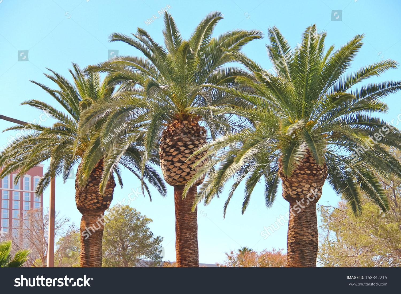 palm trees on streets las vegas stock photo edit now 168342215