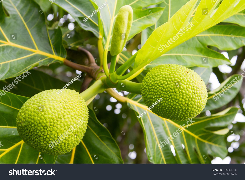young durian fruits daintree rainforest queensland