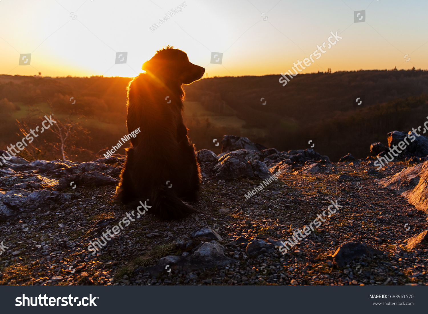 stock-photo-dog-hovawart-sitting-and-loo