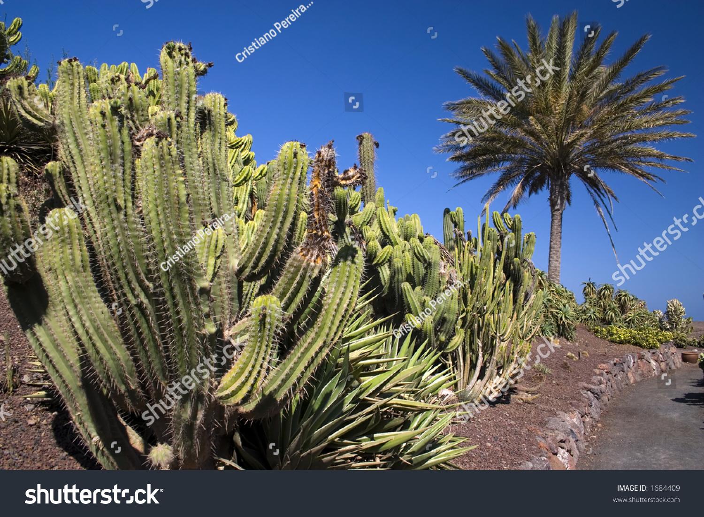 Pachypodium rutenbergianum - Madagascar Palm   World of ...   Name Cactus Palm Tree