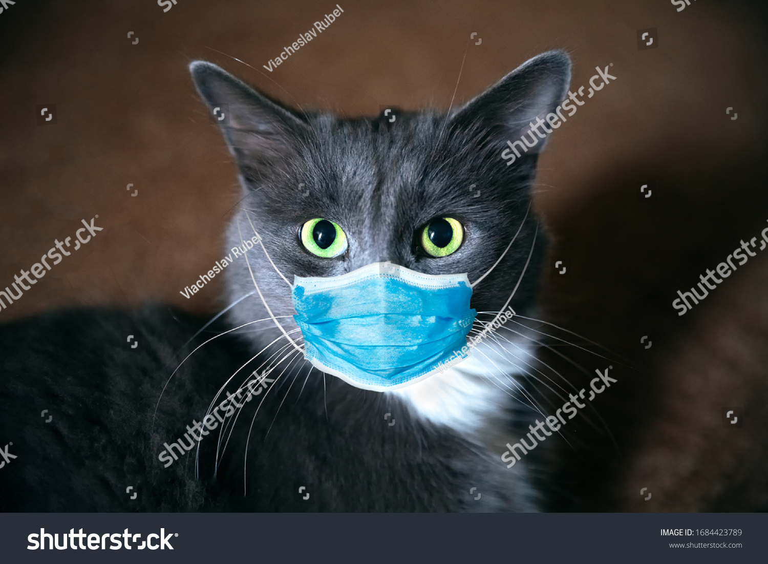 Cat in a medical mask. Protective antiviral mask on the cats face, Protective face mask for animals.  COVID-19, Coronovirus, hantavirus concept. Medical mask from coronavirus,  hantavirus. #1684423789
