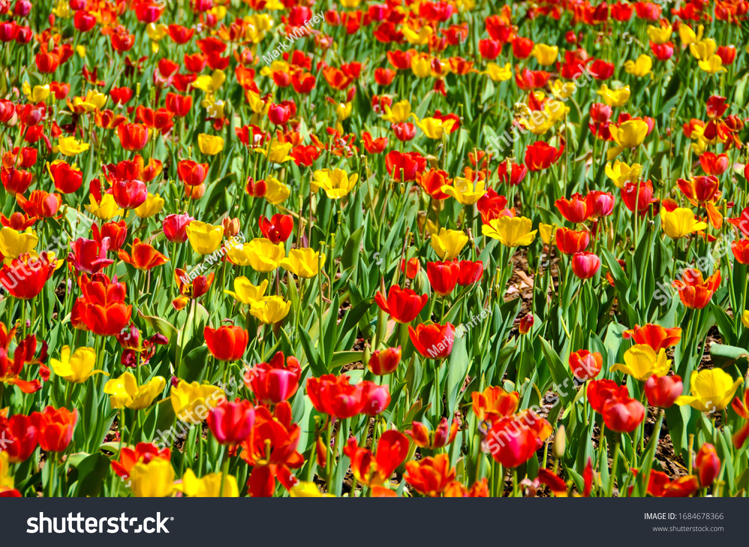 A Field Full of Beautiful Tulips in Spring