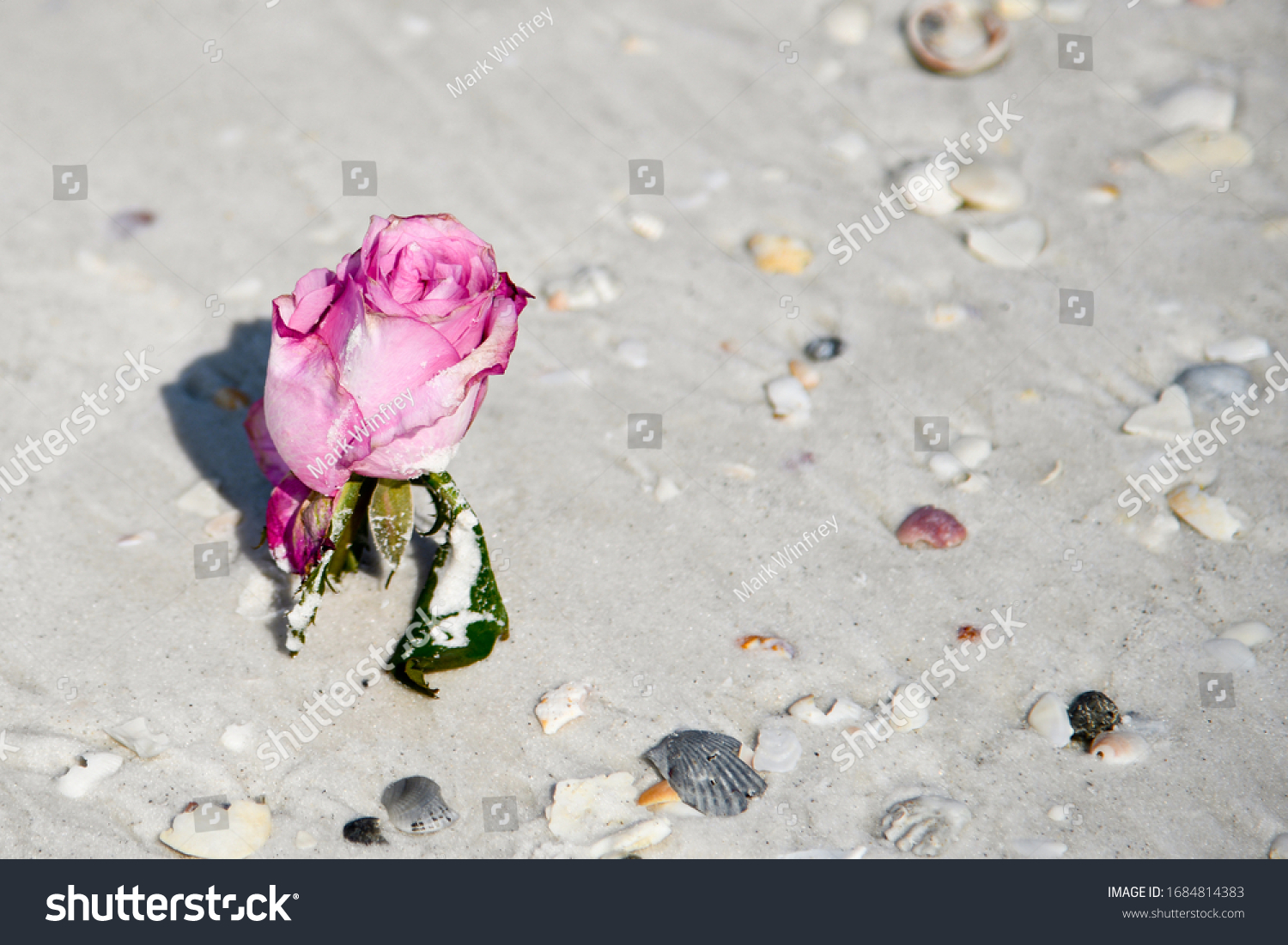 A Single Pink Rose Laying on a Sandy Beach with Sea Shells around it