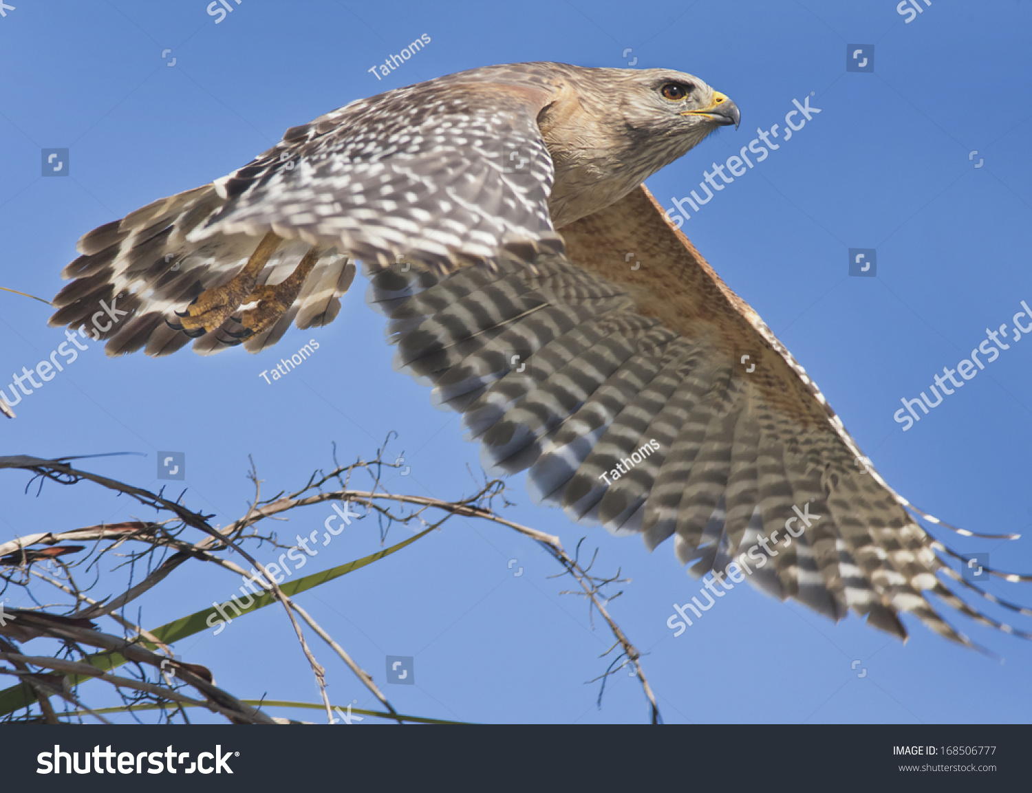 stock-photo-red-shouldered-hawk-just-too