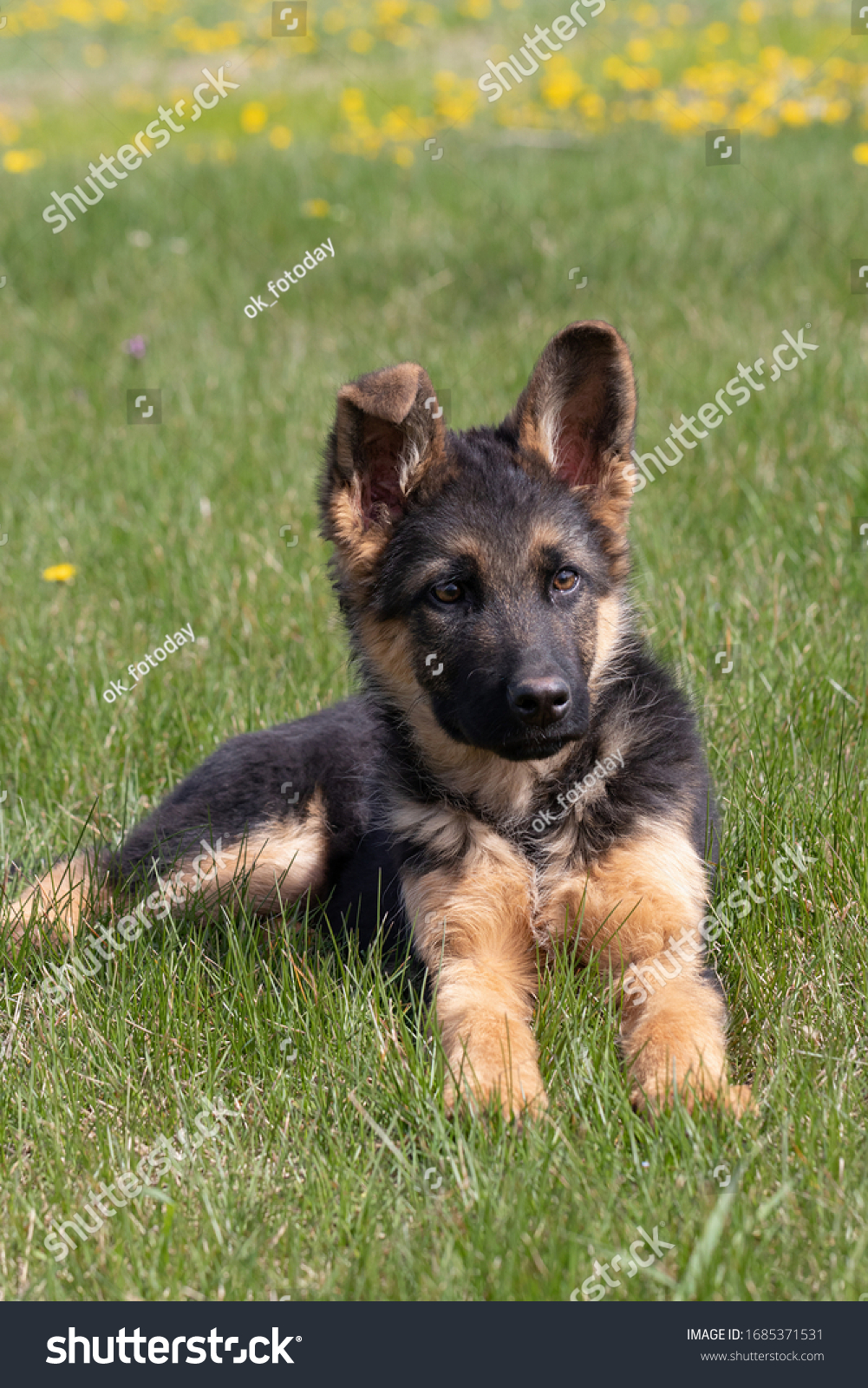 German Shepherd mixed breed puppy lies on green grass