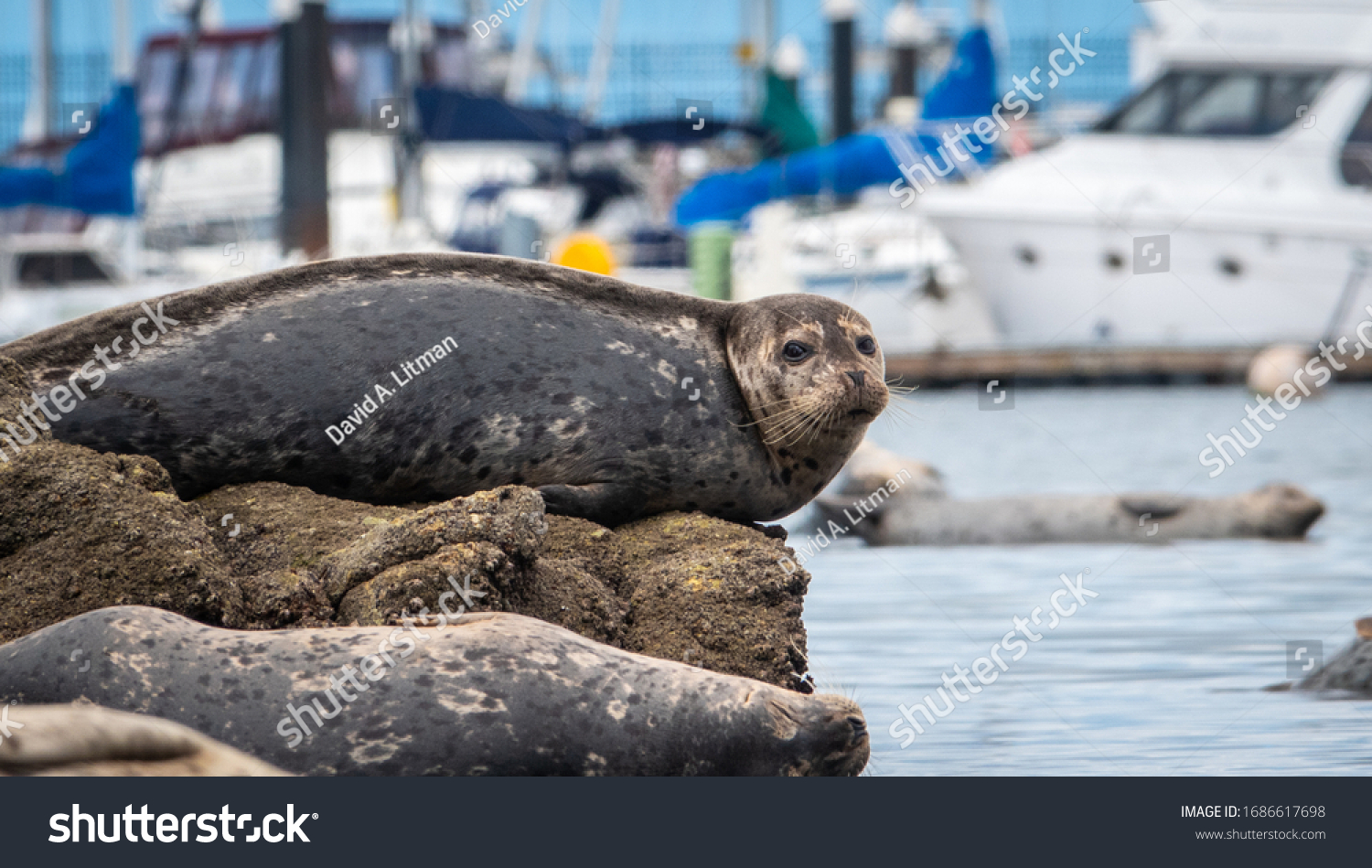 stock-photo-pacific-harbor-seals-phoca-vitulina-rest-on-exposed-rocks-at-low-tide-at-the-monterey-marina-1686617698.jpg