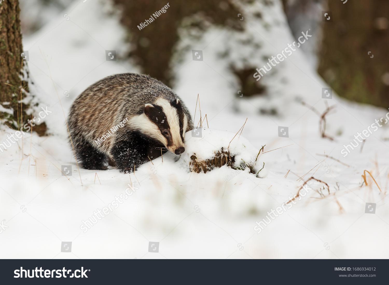 European badger Meles meles) in the snowy forest