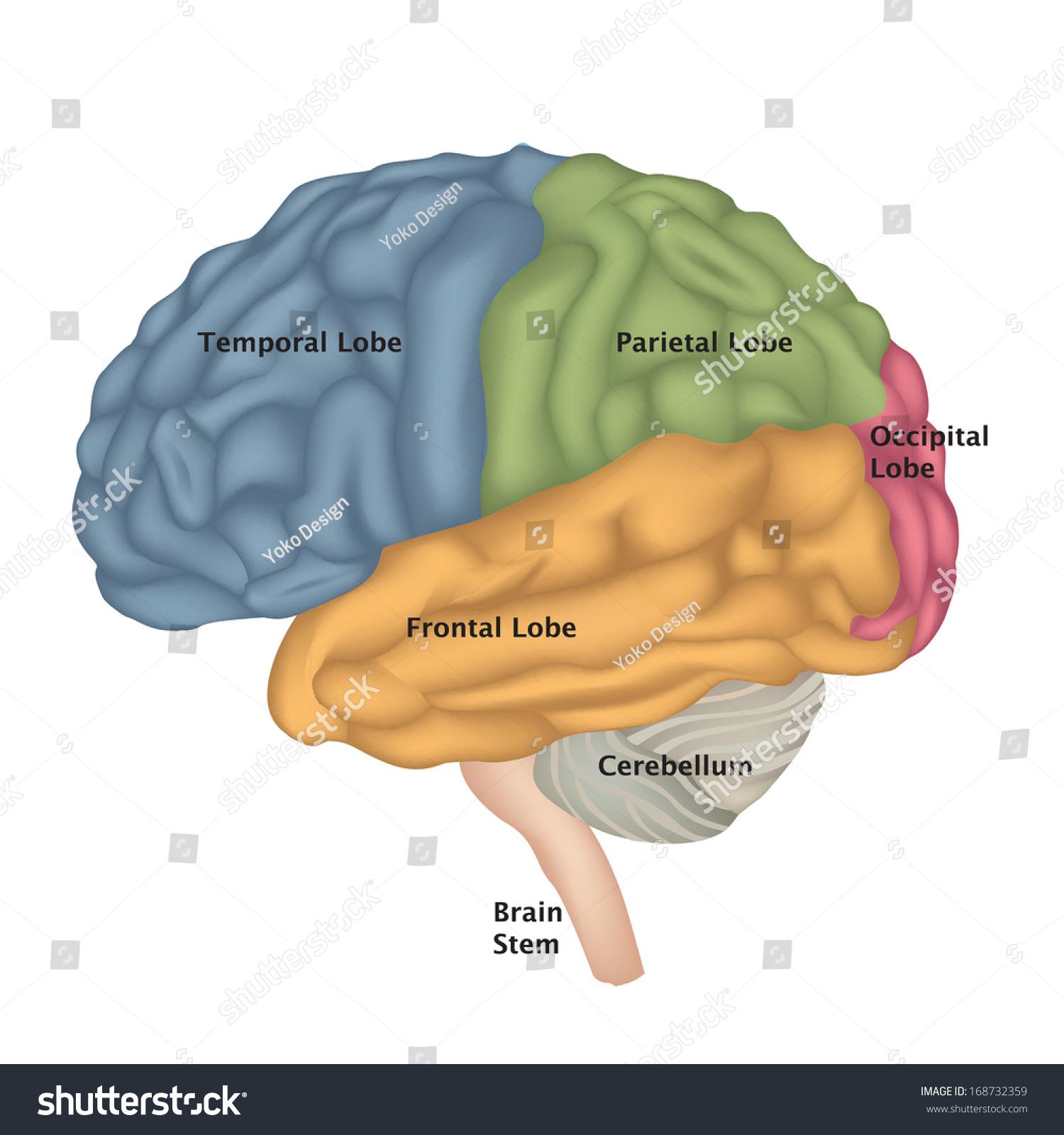 Brain Anatomy Human Brain Lateral View Stock Vector 168732359