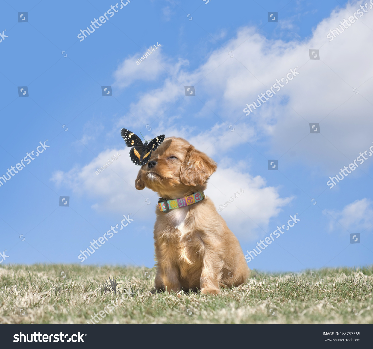 stock-photo-adorable-cavalier-king-charl