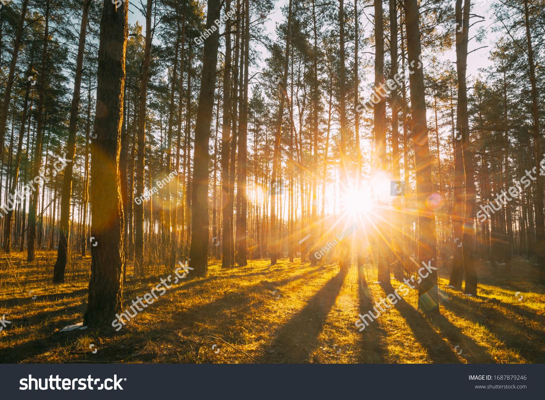 Beautiful Sunset Sunrise Sun Sunshine In Sunny Spring Coniferous Forest. Sunlight Sunbeams Through Woods In Forest Landscape. #1687879246