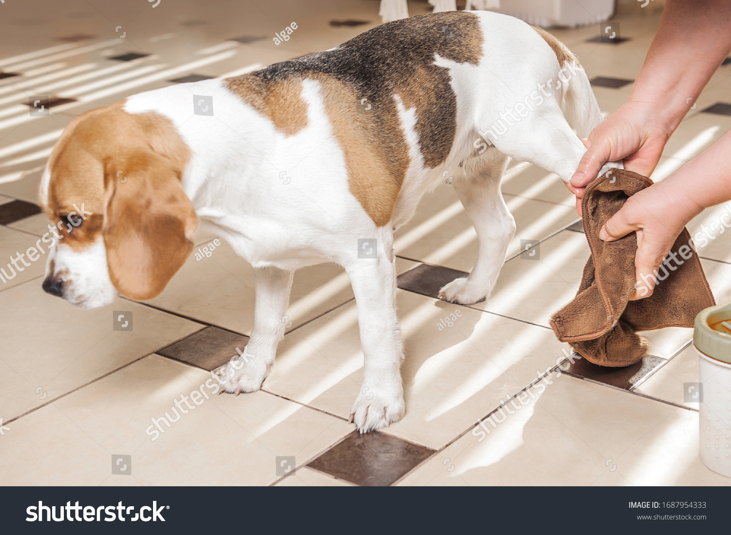 the mistress washes the dog's paws for a beagle and wipes the wet paws with a rag. glass for washing paws. paw washing device #1687954333