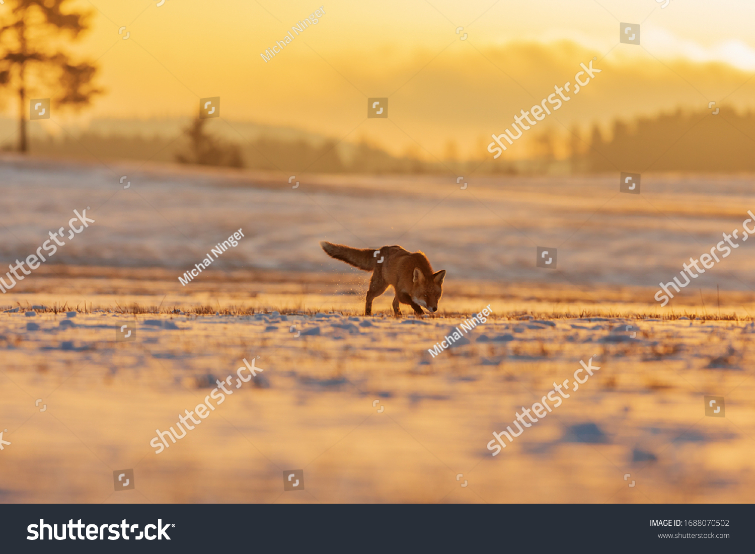 red fox (Vulpes vulpes) they sweep across a snow-covered field in a landscape encrusted with golden morning sun rays