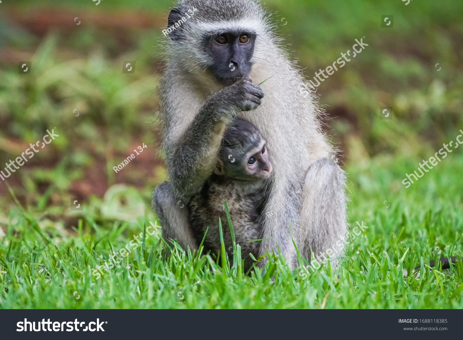 stock-photo-vervet-monkey-chlorocebus-py