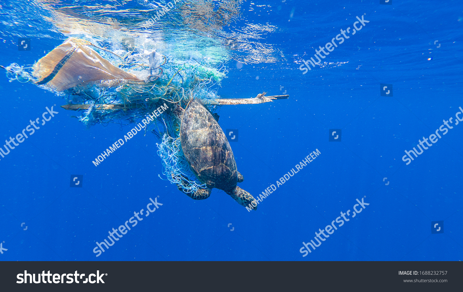 Green sea turtle entangled in a discarded fishing net #1688232757