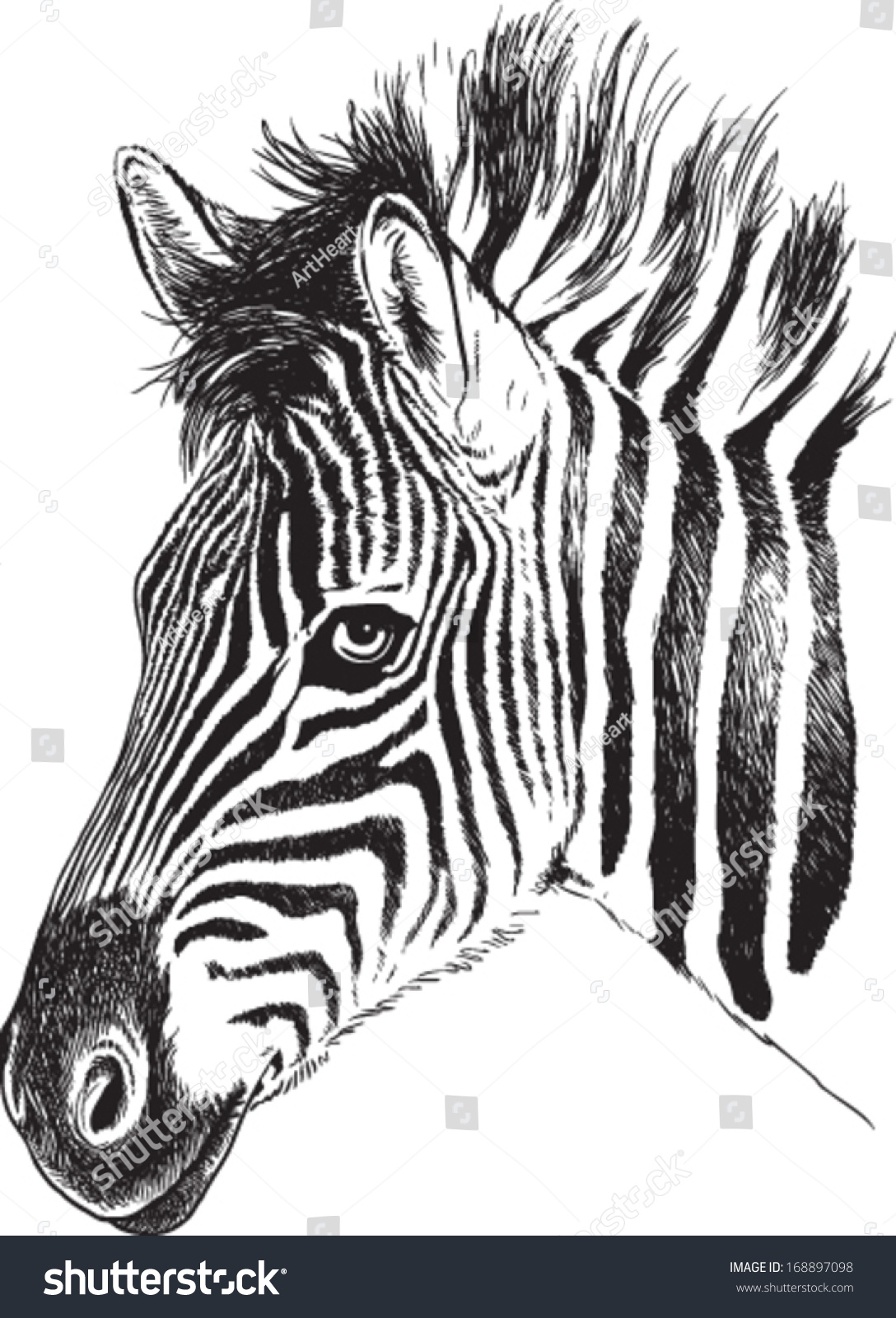 Line Drawing Zebra : Black white vector line drawing baby stock