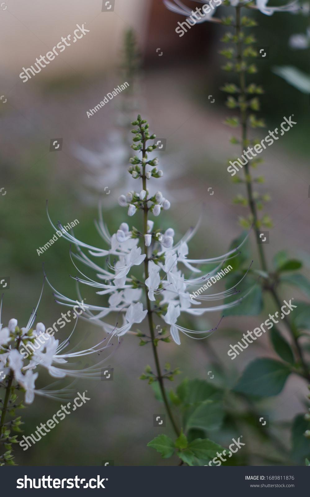 Orthosiphon aristatus -  cat's whiskers or Java tea blossoming flower