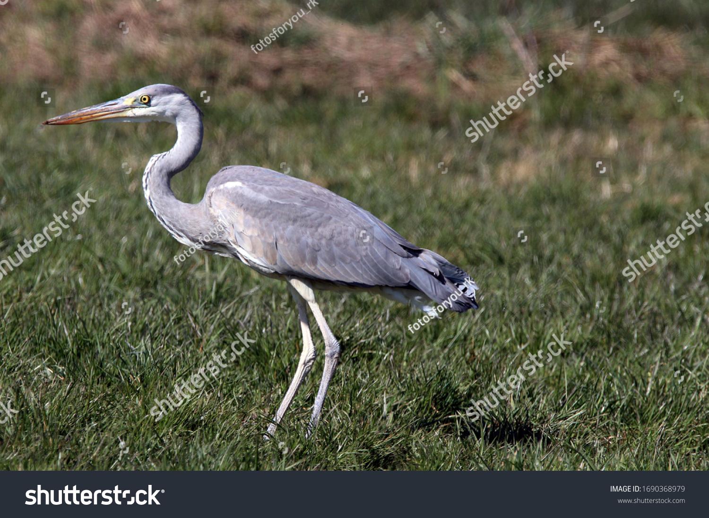 The gray heron (Ardea cinerea), also called heron, is a bird of the order Pelecaniformes