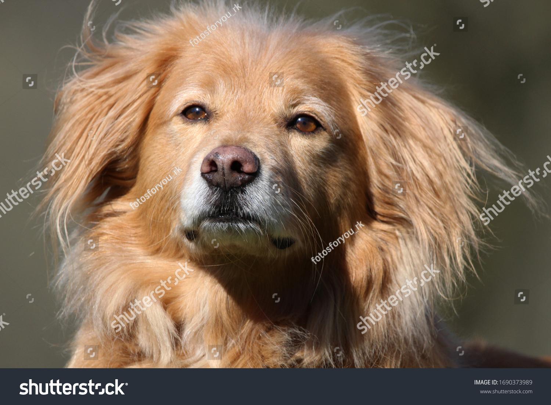 dog portrait of a great golden retriever