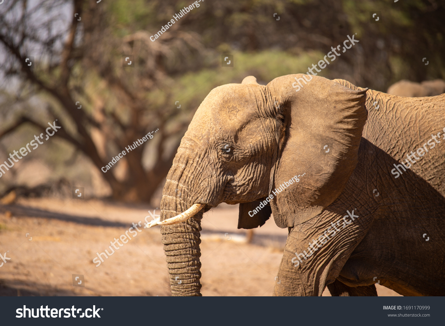African elephant in the wild #1691170999