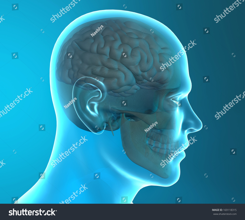 Brain Skull Xray Head Anatomy Stock Illustration - Royalty Free ...