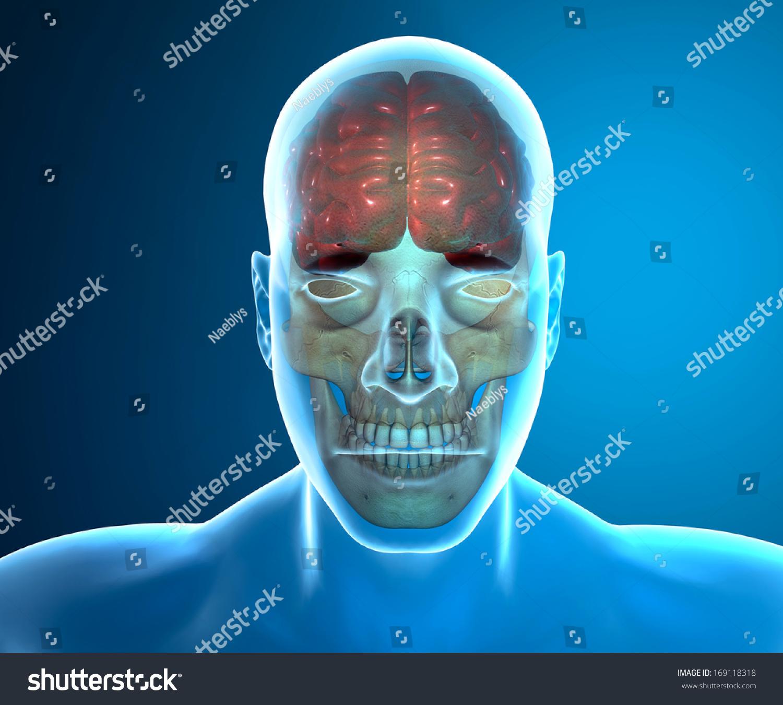 Brain Skull Xray Head Anatomy Stock Illustration 169118318 ...