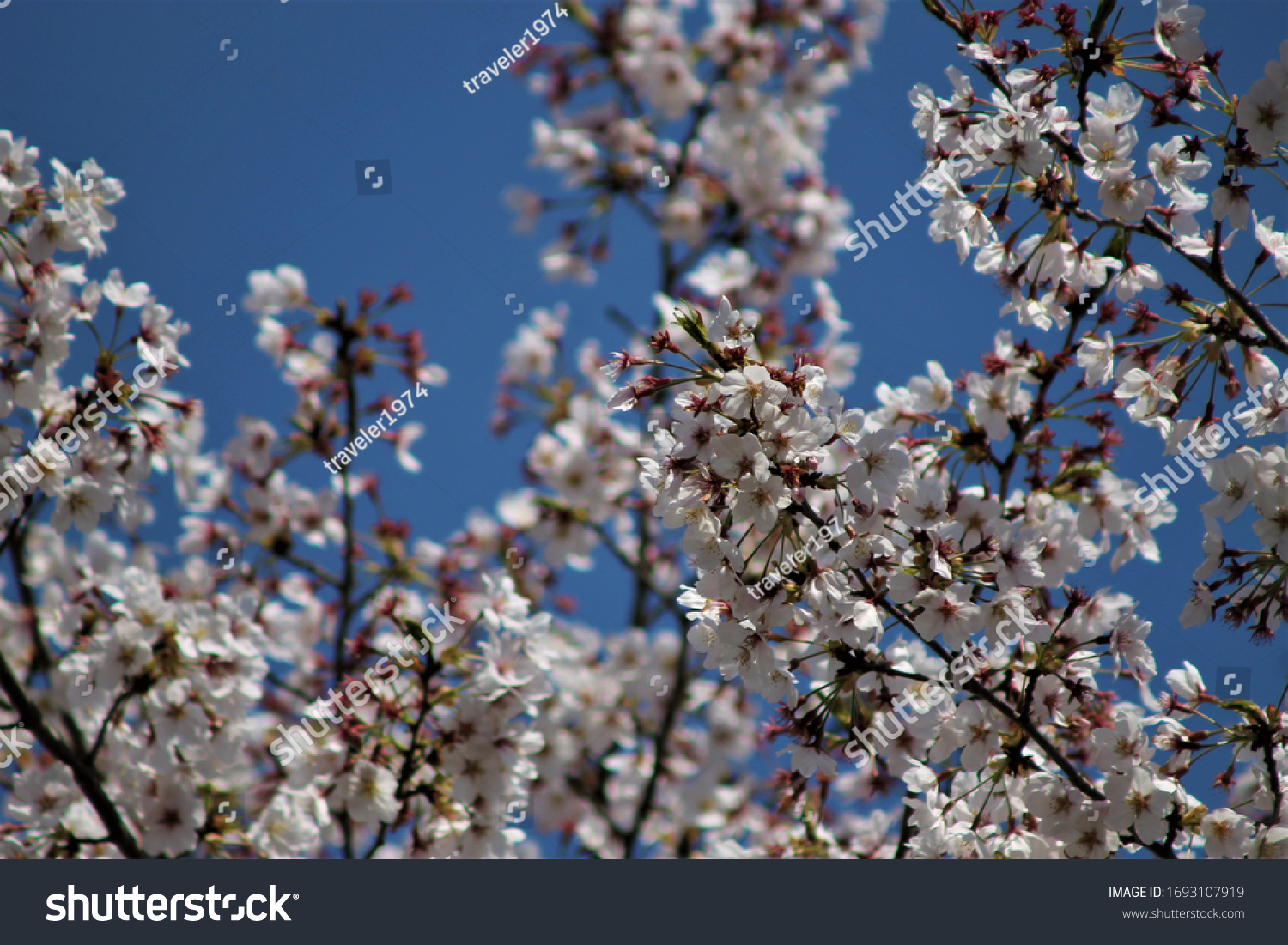 stock-photo-japanese-cherry-blossoms-in-