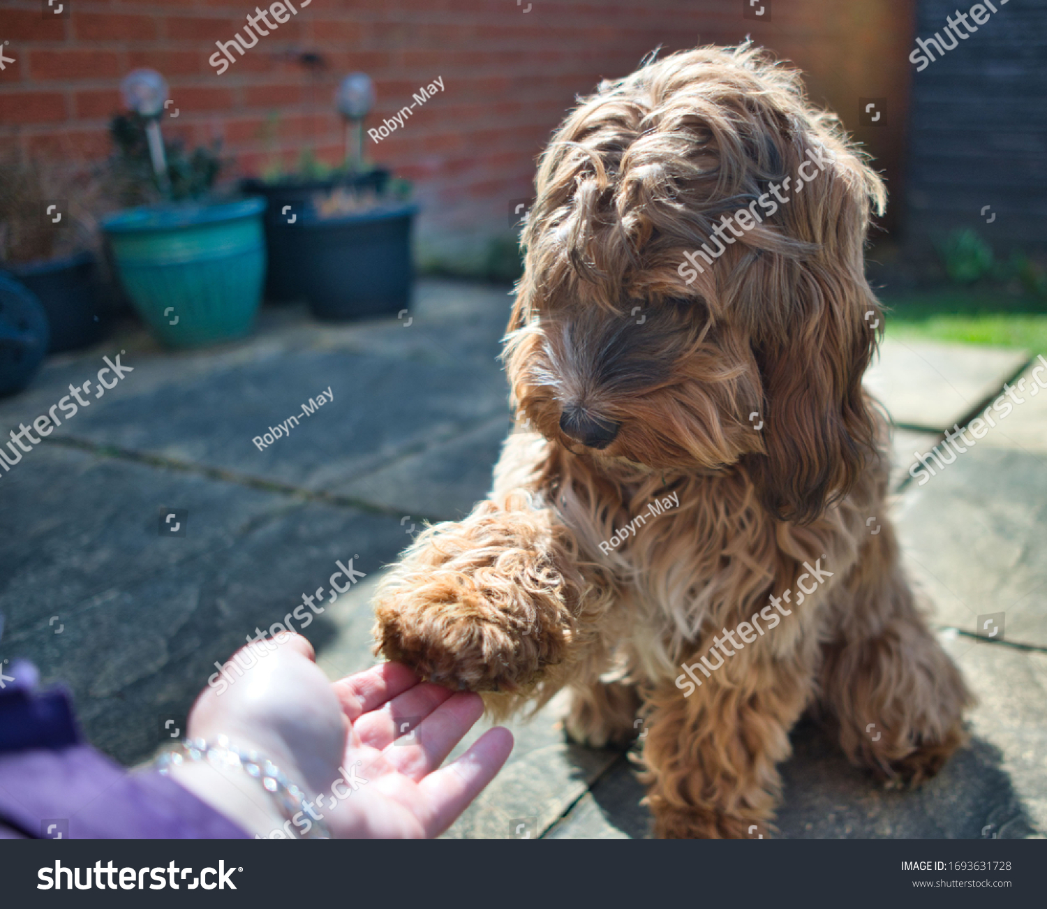stock-photo-female-cockapoo-bitch-month-