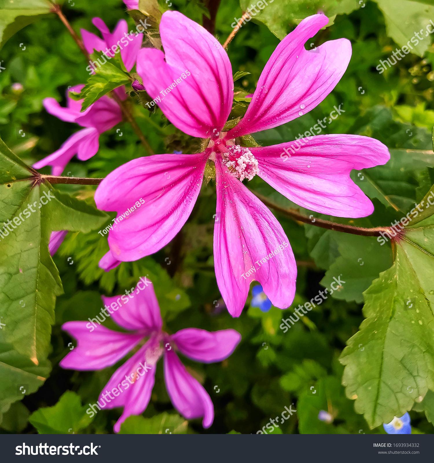 Häufig: eine Art von Mallow, auch bekannt als High, blue und Marsh Mallow, Käseblume, ist der botanische Name Malva sylvestris