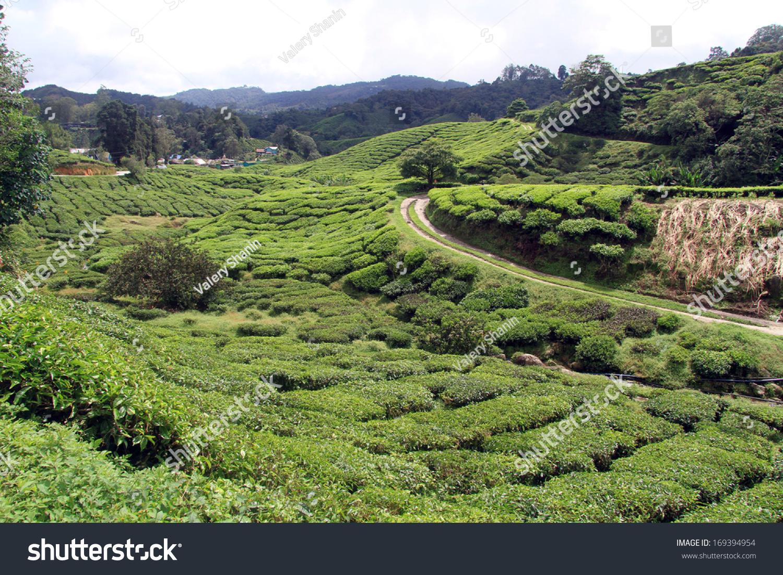 Road Tea Plantation Cameron Highlands Malaysia Stock Photo ...