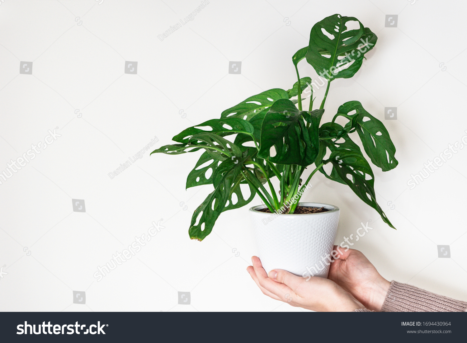 Hands holding monstera monkey mask plant (Monstera Obliqua or Monstera adansonii) in flower pot on white background. Concept of urban jungle, growing plants at home #1694430964