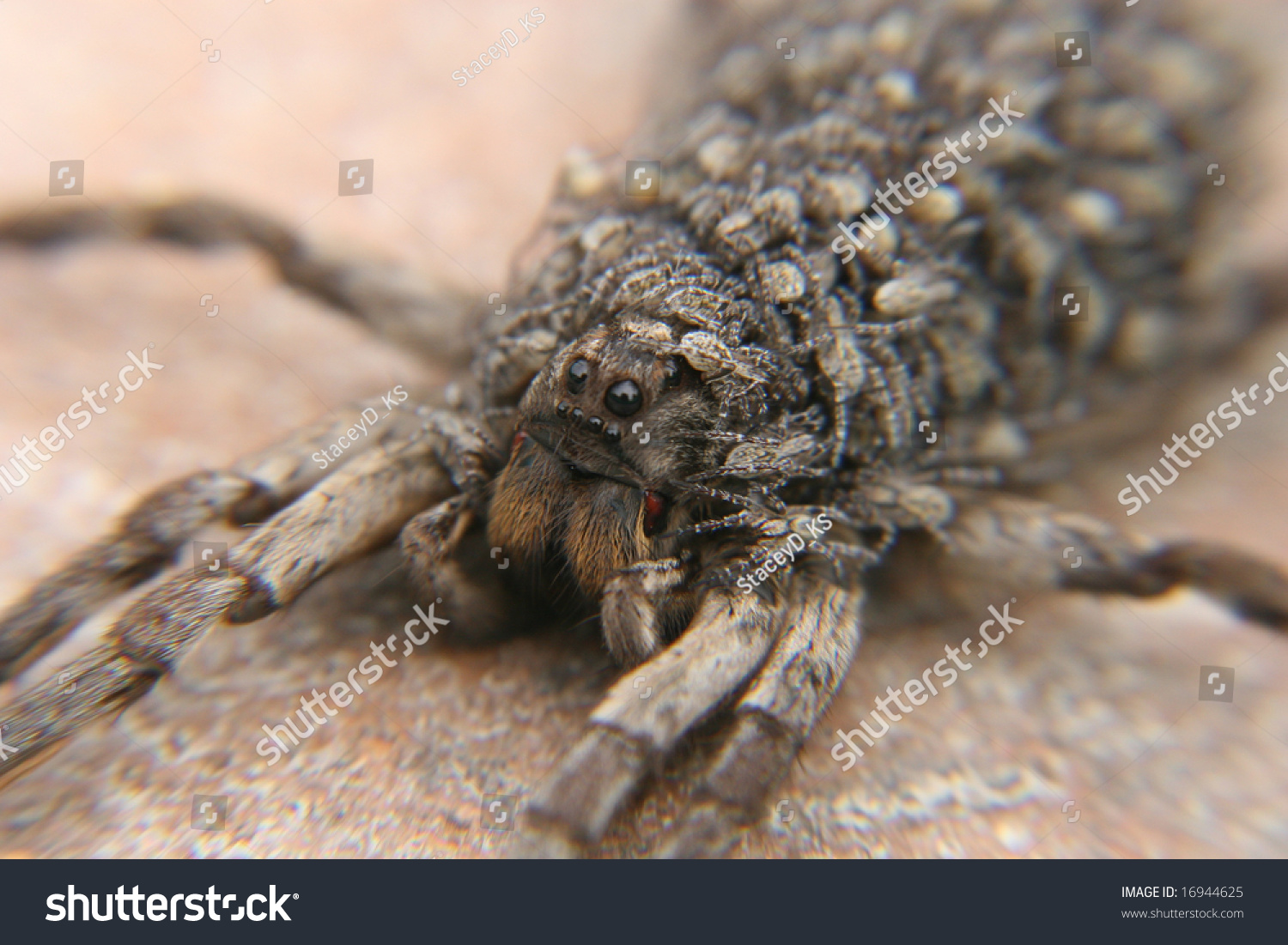 Face Babies Momma Tarantula Stock Photo Edit Now 16944625