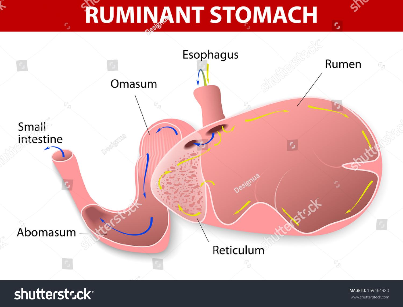 Cow Rumin Ruminant Stomach Ruminant Species Stock Illustration ...
